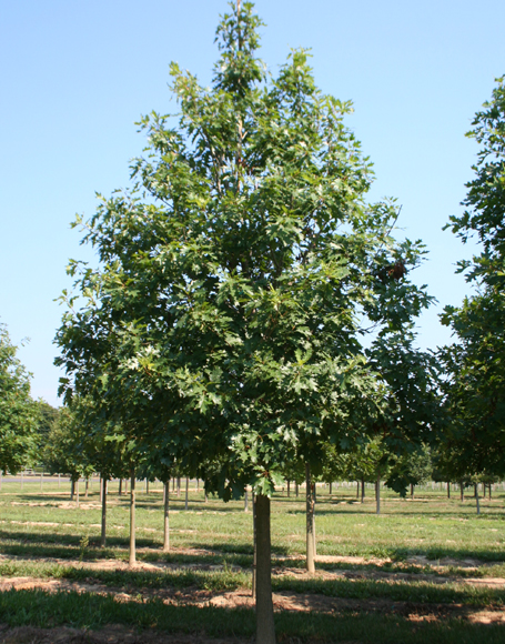 oak mature red Size of