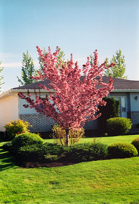 Ornamental trees and fruit trees trees on the move flowers are followed by masses of small orange red crabapples height 15 to 20 ft spread 15 to 20 ft bloom time april to may bloom description white mightylinksfo