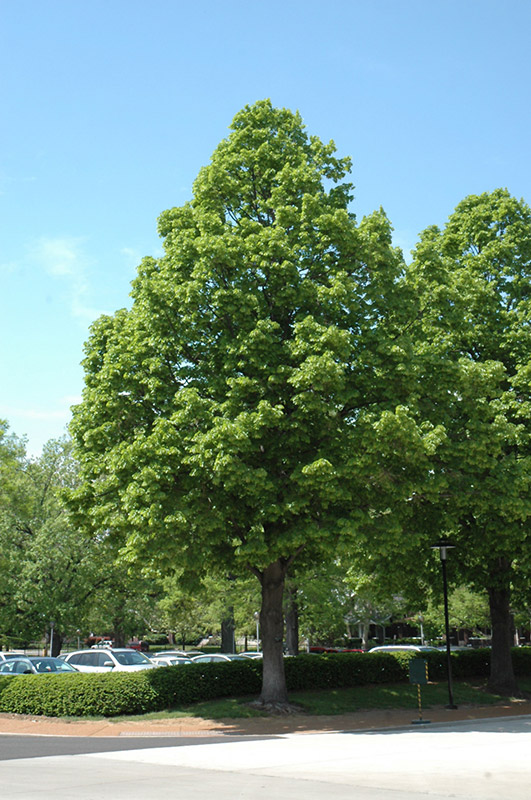 Linden (Tilia) & Decidious and Shade Trees - Trees On The Move Inc