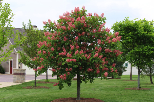 Ruby Red Horse Chestnut