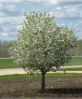 Ornamental trees and fruit trees trees on the move profusion crabapple mightylinksfo